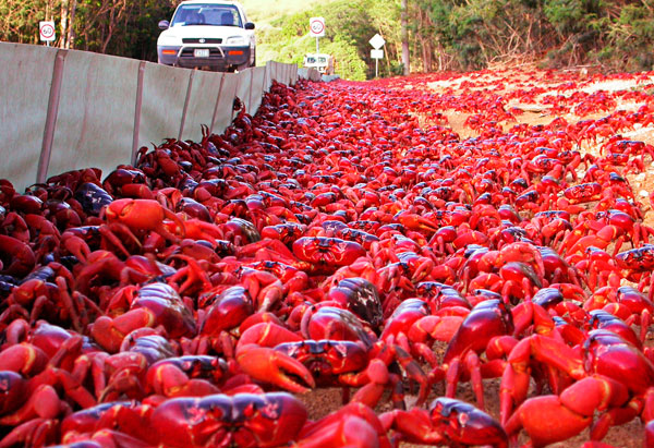 Christmas Island crab mob